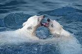 Dvě bílé ledních medvědů hrát ve vodě — Stock fotografie
