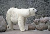 Femmina di orso polare bianco odore aria — Foto Stock