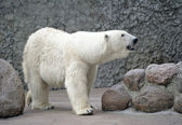 Female of white polar bear smell air — Stock Photo