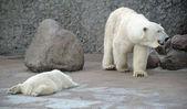White polar bears family — Stock Photo