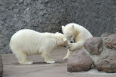 Two little polar bears play — Foto de Stock
