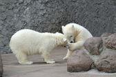 Två små isbjörnar spela — Stockfoto