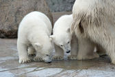 Two little white polar bears — Stock Photo