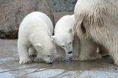 Dwa małe białe niedźwiedzie polarne — Zdjęcie stockowe