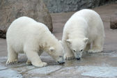 Two polar bears drink from a pool — Stock Photo