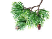 Fir tree branch isolated — Stock Photo