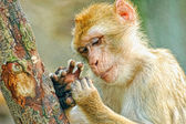 Funny monkey look at fingers — 图库照片