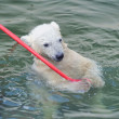 图库照片: Little white polar bear playing in water