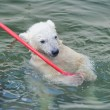 Stockfoto: Little white polar bear playing in water