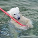 pequeno urso polar branco jogando na água — Foto Stock