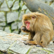 Lonely monkey eats piece of bark -  