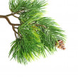 Close up of fir tree branch — Stock Photo #10604491