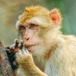 Funny monkey put fingers into mouth - Stock Photo