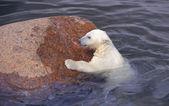 Lutas de urso polar branco pequeno perto de pedra — Foto Stock