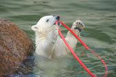 Mały biały miś polarny gra — Zdjęcie stockowe