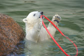 Pequeno urso polar branco jogando — Foto Stock