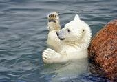 Baby играть белый медведь в воде — Стоковое фото