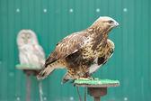 águia dourada — Foto Stock