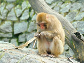 Monkey eats piece of bark — 图库照片