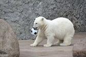 Witte ijsbeer met voetbal — Stockfoto