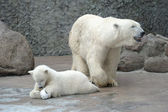 White polar bears family — Stock Photo