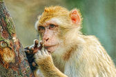 Funny monkey put fingers into mouth — Foto Stock