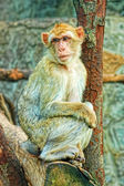One sad monkey — Foto Stock