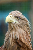 Portrait of eagle — Stock Photo