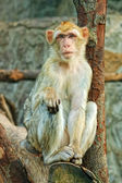 Sad sitting monkey — Foto Stock