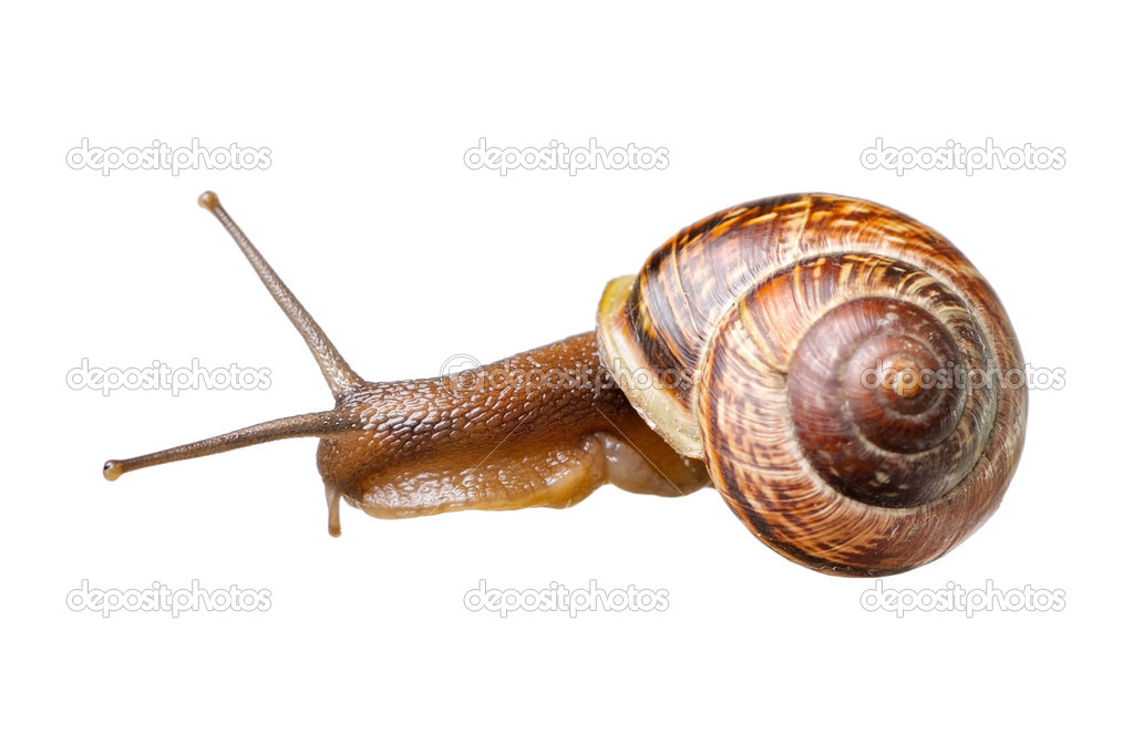 Small snail isolated on white background — Stock Photo #10604176