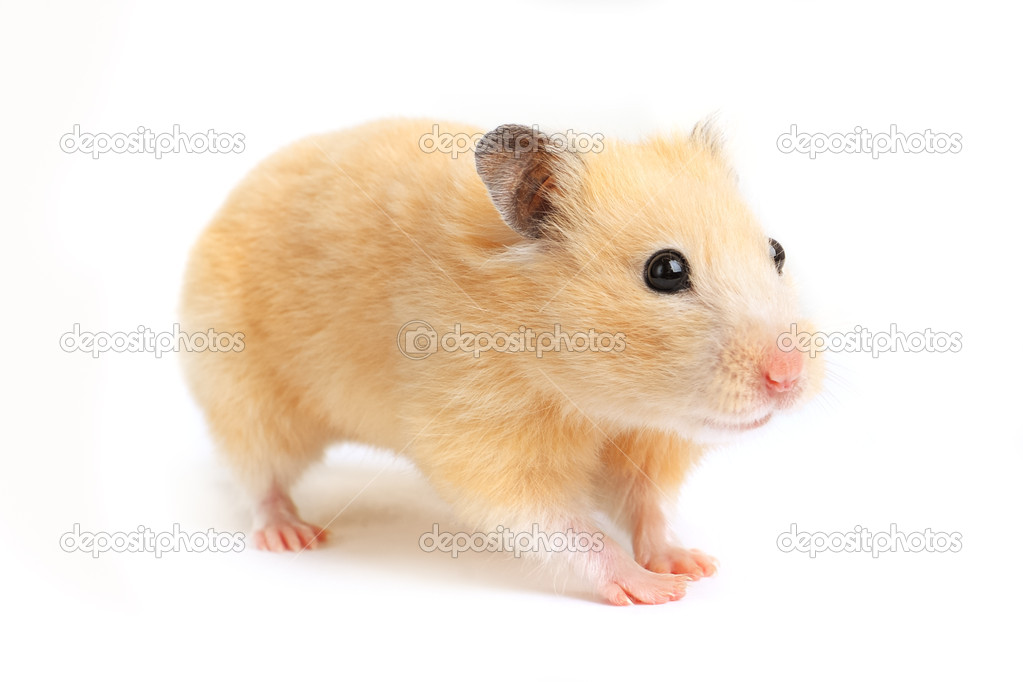 Hamster isolated on white background — Stock Photo #10604451