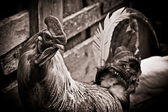 Cock near a wooden fence black and white — Stock Photo