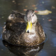 Stock Photo: Beauty duck color
