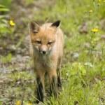 ������, ������: Mammal red fox B