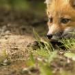 ������, ������: Mammal red fox D