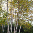 Birch trees during autumn — Stock Photo