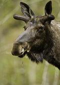 Male moose portrtait — Stock Photo