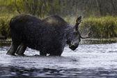 Splash moose — Stock Photo