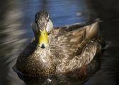 Pato de belleza — Foto de Stock
