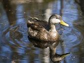 Reflection duck — Stock Photo