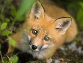 Mammal red fox C — Stock Photo