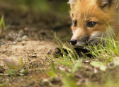 Mammal red fox D — Stock Photo