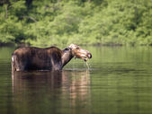 Female moose mammal A — Stock Photo