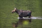 Female moose mammal C — Stock Photo
