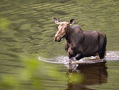 Female moose mammal D — Stock Photo