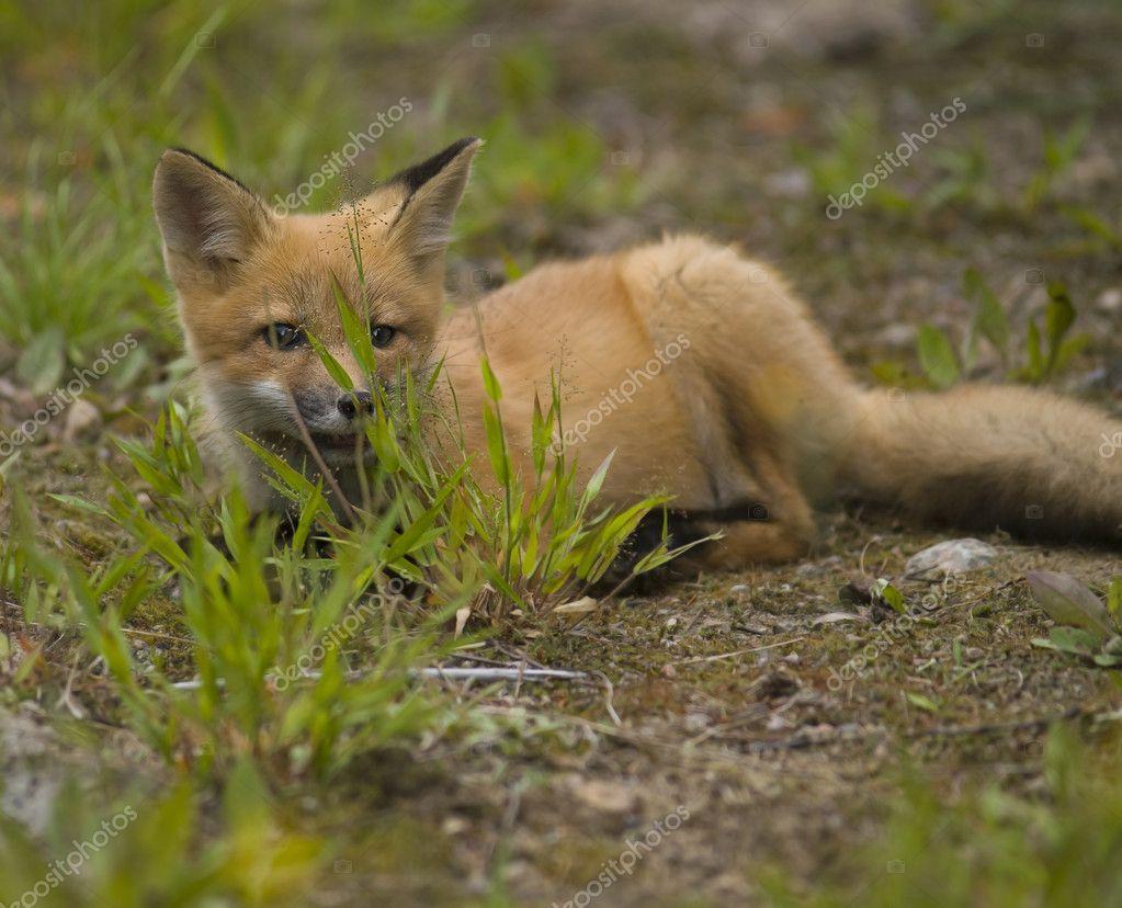 哺乳动物红狐狸 e