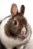 Rabbit / Bunny — Stock Photo