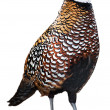 Reeves' pheasant — Stock Photo
