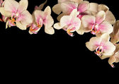 Cream-coloured orchid — Stock Photo