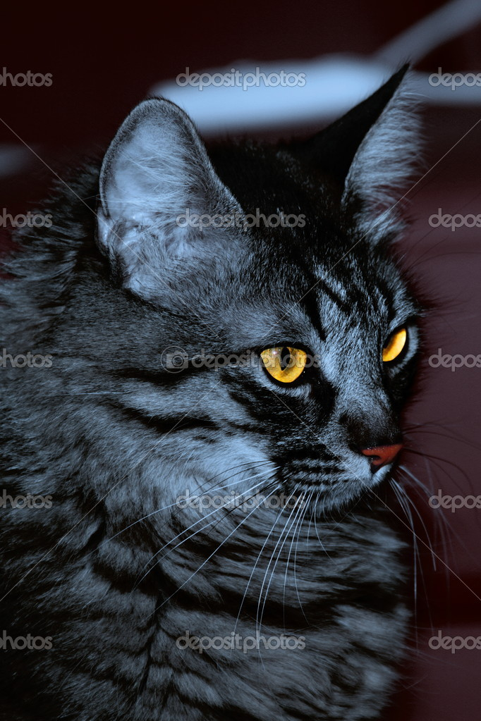 Portrait of a maine coon cat — Stock Photo #10051643